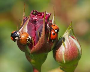 Busy Ladybugs