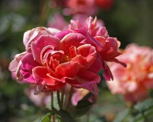 Autumn Roses in Summer