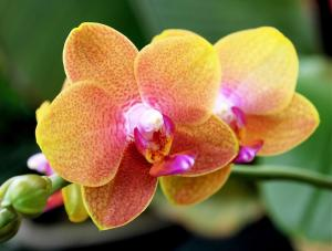 Pink Yellow Orchid